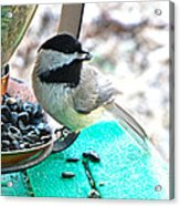Mouth Full Chickadee Acrylic Print