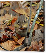 Mouth Full Chipmunk - C3029d Acrylic Print