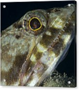 Mouth Of A Variegated Lizardfish, Papua Acrylic Print
