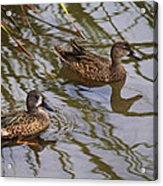 Mr And Mrs Blue Wing Teal Acrylic Print