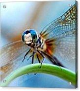 Mr Fly Acrylic Print by Kendra Longfellow