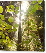 Muir Woods Magic Acrylic Print by Rossi Love