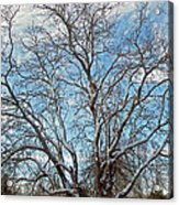 Mulberry Tree In Snow Acrylic Print