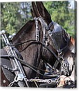 Mule Days - Benson - A Pair Of Aces - Mules Acrylic Print