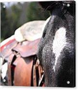 Mule Days Photo Acrylic Print