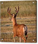 Mule Deer Buck In An Alberta Field Acrylic Print