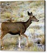 Mule Deer On The Move Acrylic Print