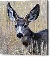 Mule Deer Spike Acrylic Print