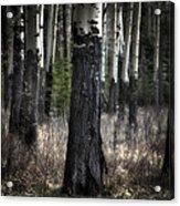 Muleshoe Trees Banff Acrylic Print