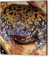 Mullers Termite Frog Acrylic Print by Dante Fenolio