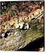 Multi Colored Gill Polypore Fungi 1561 Acrylic Print