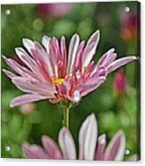 Mum Is In The Pink  Acrylic Print