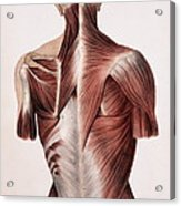 Muscles Of The Back Acrylic Print