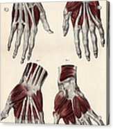 Muscles Of The Hand Acrylic Print