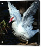 Muscovy Duck Acrylic Print