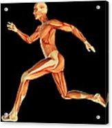 Muscular System Acrylic Print