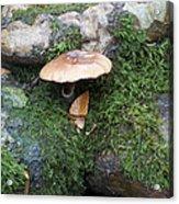 Mushroom In Moss Acrylic Print