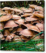 Mushrooms Galore Acrylic Print