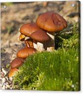 Mushrooms On Fallen Tree Acrylic Print
