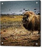 Muskox Ovibos Moschatusin The Northwest Acrylic Print