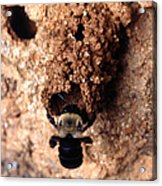 Mustached Mud Bee Acrylic Print