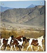 Mustangs Acrylic Print by Mark Newman and Photo Researchers