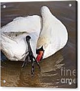 Mute Swan Grooming In Shallow Water 2 Acrylic Print