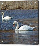 Mute Swans On A Cape Cod Pond - Cygnus Olor - Quissett  Massachusetts Acrylic Print