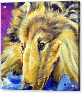 My Blue Teddy - Shetland Sheepdog Acrylic Print by Lyn Cook