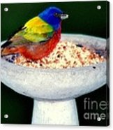 My Painted Bunting Acrylic Print