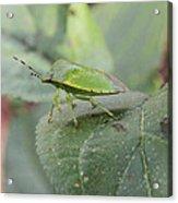 My Pretty Green Stink Bug Acrylic Print