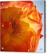 My Yellow Orange Rose Acrylic Print