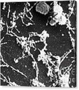 Mycoplasma Pneumoniae Sem Acrylic Print