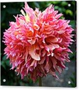 Myrtle's Folly Full Bloom Acrylic Print