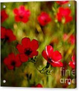 Mysterious Red Zone Acrylic Print