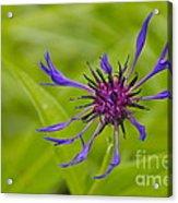 Mystery Wildflower 1 Acrylic Print