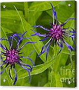 Mystery Wildflower 2 Acrylic Print by Sean Griffin
