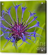 Mystery Wildflower 3 Acrylic Print by Sean Griffin