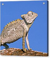 Namaqua Chameleon Chamaeleo Namaquensis Acrylic Print