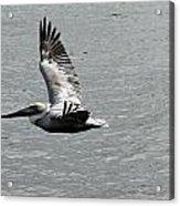 Naples Florida Pelican On The Prowl Acrylic Print