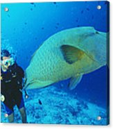 Napoleon Wrasse And Diver Acrylic Print by Matthew Oldfield