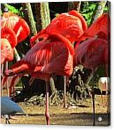 Napping Flamingoes Acrylic Print