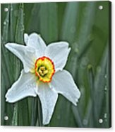 Narcissus In The Rain Acrylic Print