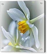 Narcissus Acrylic Print