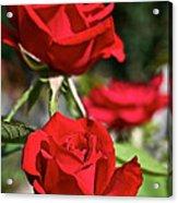 National Trust Rose Acrylic Print