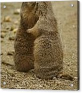 National Zoo 2 Prarie Dogs Sitting Acrylic Print