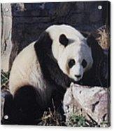 National Zoo Panda Acrylic Print