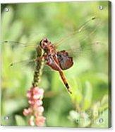 Nature Square - Saddleback Dragonfly Acrylic Print