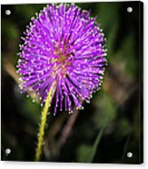 Natures Fireworks Acrylic Print