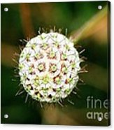 Nature's Perfect Orb Acrylic Print